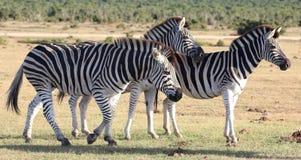 Зебры в Африке Стоковое Изображение