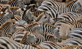 Зебры в большом табуне во время большой миграции в masai mara Стоковое Фото