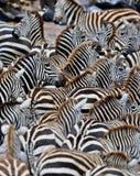 Зебры в большом табуне во время большой миграции в masai mara Стоковые Фотографии RF