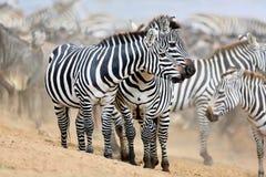 Зебры в большом табуне во время большой миграции в masai mara Стоковые Фото