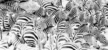 Зебры в большом табуне во время большой миграции в masai mara Стоковая Фотография RF