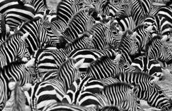 Зебры в большом табуне во время большой миграции в masai mara Стоковое Изображение RF