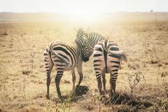 Зебры в влюбленности Masai Mara, Кения, Африка Стоковое Фото