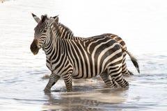 Зебры в воде в национальном парке Tarangire, Танзании Стоковое фото RF