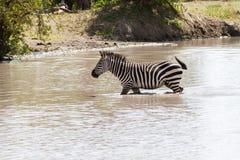 Зебры в воде в национальном парке Tarangire, Танзании Стоковая Фотография