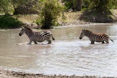 Зебры в воде в национальном парке Tarangire, Танзании Стоковое Фото