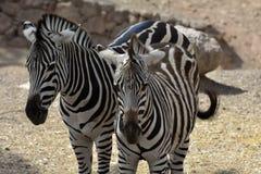 2 зебры в влюбленности Стоковая Фотография