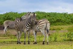 Зебры в запасе игры Tala, Южной Африке Стоковое Изображение