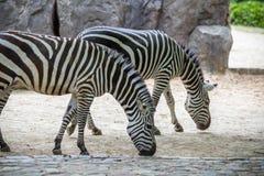 Зебры в зоопарке, Берлине Стоковое фото RF
