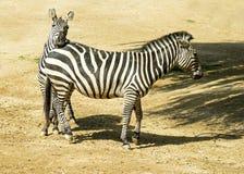 2 зебры в зоопарке в Германии Стоковое Изображение