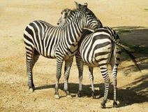 2 зебры в зоопарке в Германии Стоковая Фотография RF