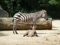 Зебры в зоопарке Германии Мама и ребенк Стоковое Изображение