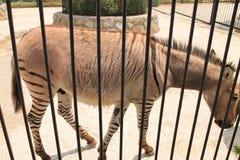 Зебры в зоопарке Стоковое Изображение