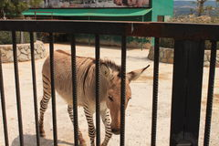 Зебры в зоопарке Стоковые Фото