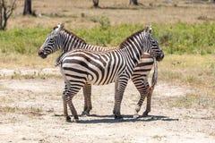 Зебры в злаковиках Стоковые Фото
