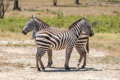 Зебры в злаковиках Стоковое фото RF