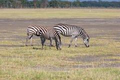 Зебры в злаковиках Стоковая Фотография