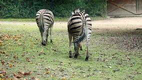 Зебры в идти зоопарка Любляны акции видеоматериалы