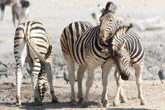 Зебры в касании стоковое фото