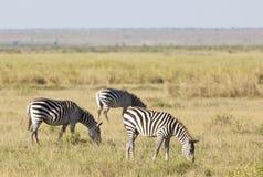 Зебры в Кении Стоковая Фотография