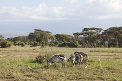 Зебры в Кении Стоковые Фото