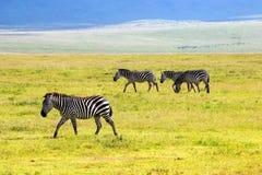 Зебры в кратере Ngorongoro вышесказанного Танзания Стоковое Изображение