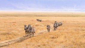 Зебры в кратере Ngorongoro в Африке Стоковое Изображение
