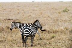 2 зебры в национальном парке Serengeti, Танзании Стоковые Фотографии RF