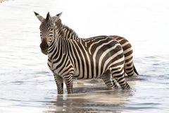 Зебры в национальном парке Tarangire, Танзании Стоковое Фото