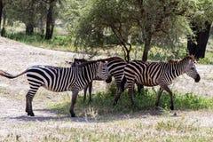 Зебры в национальном парке Tarangire, Танзании Стоковое Изображение