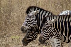 Зебры в одичалом в Сенегале Стоковая Фотография RF