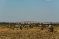 Зебры в одичалой природе Стоковые Изображения