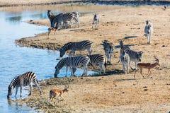Зебры в парке сафари Стоковые Изображения RF