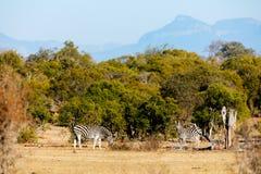 Зебры в парке сафари Стоковое фото RF