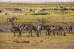 Зебры в парке Amboseli, Кении Стоковая Фотография RF