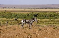 Зебры в парке Amboseli, Кении Стоковое Изображение