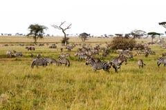 Зебры в плоскости в Serengeti, Танзании Стоковое Изображение