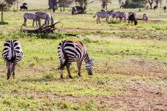 Зебры в поле в Serengeti, Танзании Стоковое Фото