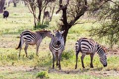 Зебры в поле в Serengeti, Танзании Стоковое Изображение RF