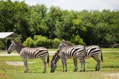 Зебры в природе Стоковые Изображения
