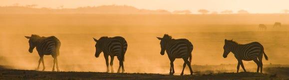 Зебры в пыли против заходящего солнца Кения Танзания Национальный парк serengeti Maasai Mara Стоковая Фотография
