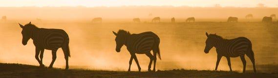 Зебры в пыли против заходящего солнца Кения Танзания Национальный парк serengeti Maasai Mara Стоковая Фотография RF