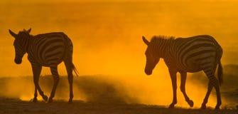 Зебры в пыли против заходящего солнца Кения Танзания Национальный парк serengeti Maasai Mara Стоковые Фотографии RF