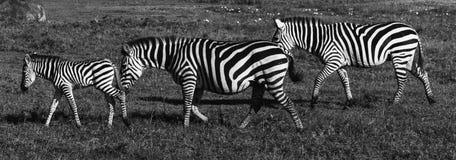 3 зебры в ряд Стоковая Фотография RF