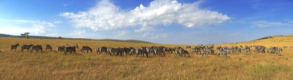 Зебры в ряд идя в саванну в Африке Стоковое фото RF