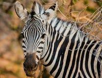 Зебры в саванне в Зимбабве, Южной Африки стоковые изображения