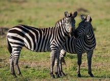 2 зебры в саванне Кения Танзания Национальный парк serengeti Maasai Mara Стоковые Фото