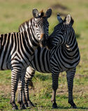 2 зебры в саванне Кения Танзания Национальный парк serengeti Maasai Mara Стоковая Фотография RF