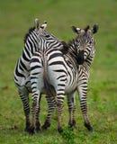2 зебры в саванне Кения Танзания Национальный парк serengeti Maasai Mara Стоковая Фотография