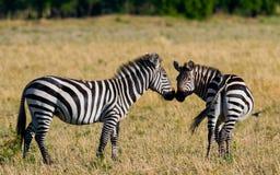 2 зебры в саванне Кения Танзания Национальный парк serengeti Maasai Mara Стоковые Изображения